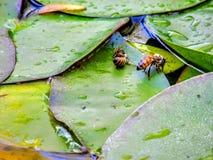 Abeja de la miel en la hoja del cojín de lirio en Utah América los E.E.U.U. Foto de archivo