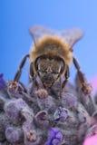 Abeja de la miel en la lavanda Fotos de archivo libres de regalías
