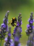 Abeja de la miel en la lavanda Foto de archivo libre de regalías
