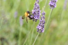 Abeja de la miel en la lavanda Fotos de archivo