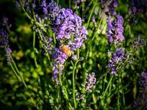 Abeja de la miel en la lavanda en Utah América los E.E.U.U. Fotografía de archivo libre de regalías