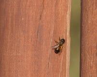 Abeja de la miel en la madera Fotografía de archivo