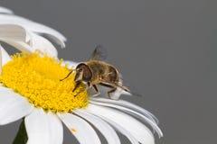 Abeja de la miel en la margarita 1 Fotografía de archivo libre de regalías