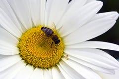 Abeja de la miel en la margarita blanca Imagenes de archivo