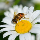 Abeja de la miel en la margarita blanca Fotografía de archivo libre de regalías