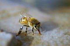Abeja de la miel en la piedra arenisca mojada Fotos de archivo libres de regalías