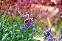 Abeja de la miel en la polinización de la flor de la lavanda Imagen de archivo libre de regalías