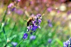 Abeja de la miel en la polinización de la flor de la lavanda Fotografía de archivo libre de regalías