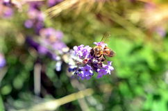Abeja de la miel en la polinización de la flor de la lavanda Foto de archivo libre de regalías
