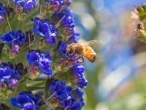 Abeja de la miel en las flores Fotos de archivo libres de regalías