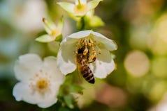 Abeja de la miel en las flores Fotografía de archivo libre de regalías