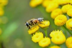 Abeja de la miel en las flores amarillas Fotos de archivo libres de regalías