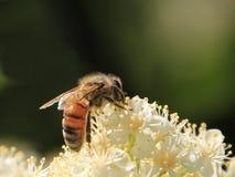 Abeja de la miel en las flores blancas Fotografía de archivo