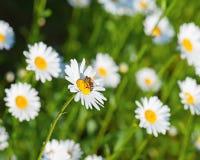 Abeja de la miel en las flores blancas de la manzanilla Imagen de archivo