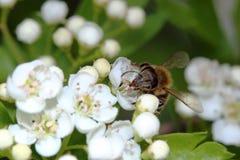 Abeja de la miel en las flores de los espinos Fotografía de archivo