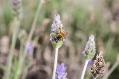 Abeja de la miel en las flores de polinización de la lavanda Imágenes de archivo libres de regalías