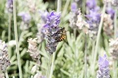 Abeja de la miel en las flores de polinización de la lavanda Fotos de archivo