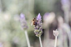 Abeja de la miel en las flores de polinización de la lavanda Fotografía de archivo libre de regalías