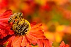 Abeja de la miel en las flores del helenium Imagen de archivo libre de regalías