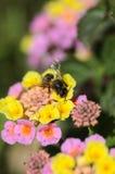 Abeja de la miel en las flores del lantana Imagen de archivo libre de regalías