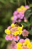 Abeja de la miel en las flores del lantana Fotografía de archivo libre de regalías