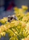 Abeja de la miel en las flores del Ragwort. Imagen de archivo libre de regalías