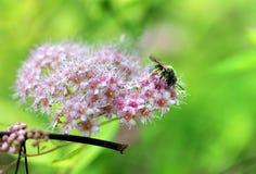 Abeja de la miel en las flores florecientes Imagen de archivo libre de regalías