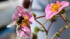 Abeja de la miel en las flores rosadas de la fresa Imagen de archivo libre de regalías