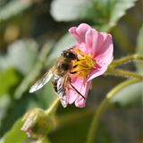 Abeja de la miel en las flores rosadas de la fresa Imagen de archivo