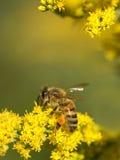 Abeja de la miel en las flores y el polen amarillos de la recogida Foto de archivo