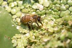 Abeja de la miel en las plantas de agua Foto de archivo libre de regalías