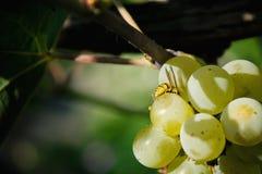 Abeja de la miel en las uvas Imagen de archivo
