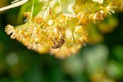 Abeja de la miel en Linden Flowers, Apis Carnica Imagen de archivo libre de regalías