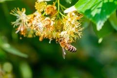 Abeja de la miel en Linden Flowers, Apis Carnica Fotografía de archivo