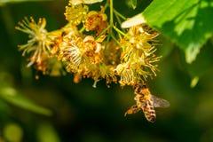 Abeja de la miel en Linden Flowers, Apis Carnica Imágenes de archivo libres de regalías