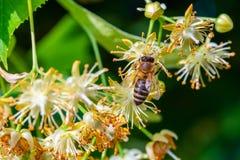Abeja de la miel en Linden Flowers, Apis Carnica Foto de archivo