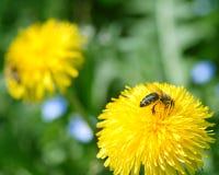 Abeja de la miel en los dientes de león amarillos Fotos de archivo libres de regalías