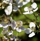 Abeja de la miel en los flores blancos que recolectan el néctar Foto de archivo libre de regalías