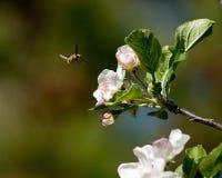 Abeja de la miel en los flores de la manzana Foto de archivo libre de regalías
