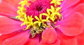 Abeja de la miel en margarita del gerbera, Fotos de archivo
