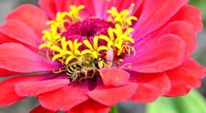 Abeja de la miel en margarita del gerbera, Foto de archivo libre de regalías