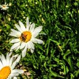Abeja de la miel en margarita en Utah América los E.E.U.U. Fotografía de archivo