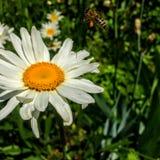 Abeja de la miel en margarita en Utah América los E.E.U.U. Foto de archivo libre de regalías