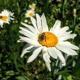 Abeja de la miel en margarita en Utah América los E.E.U.U. Fotografía de archivo libre de regalías