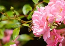 Abeja de la miel en mini rosas rosadas Imágenes de archivo libres de regalías
