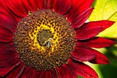 Abeja de la miel en mosca cerca del girasol rojo Fotografía de archivo libre de regalías