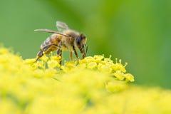 Abeja de la miel en la opinión de ángulo de la pastinaca con la lengua Fotografía de archivo libre de regalías