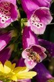 Abeja de la miel en purpurea de la digital Fotografía de archivo