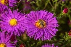 Abeja de la miel en un alpinus violeta colorido del aster de la flor Imagen de archivo