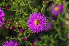 Abeja de la miel en un alpinus violeta del aster de la flor Imagenes de archivo